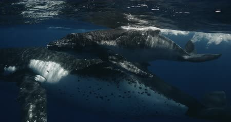 buzağı : Mother and Calf Humpback whale during migration in Indian Ocean. Footage shot on a cinema camera with 14 bit colors in Raw