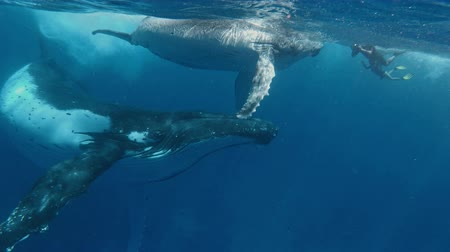 buzağı : Mother and Calf Humpback whale meet freedivers in the ocean. Footage shot on action camera Stok Video