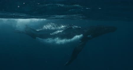 memeli : Close-up of humpback whale calf with mother underwater ocean. Idyll and harmony of family life of huge calm marine animals Footage shot on a cinema camera with 14 bit colors in Raw