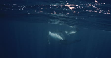 buzağı : Humpback Whale mother & calf swimming in Tonga waters. Whales swim in the Pacific Ocean of the kingdom of Tonga. Footage shot on a cinema camera with 14 bit colors in Raw
