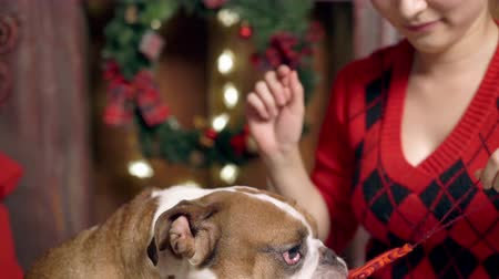 buldog : girl plays cute funny bulldog under christmas tree. doggie is very cute playing with a Christmas toy. Christmas. New Year. The concept of advertising. suitable for christmas promotion