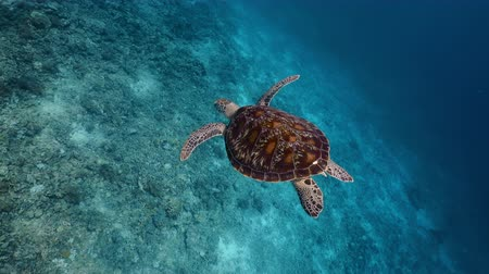 curacao : green sea turtle swimming against to my camera - PERFECT SHOT!