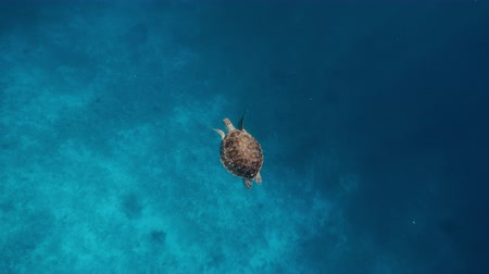 hafifletmek : Hawksbill sea turtle swimming over the edge of coral reef with hard and soft corals into blue deep ocean water. Raja Ampat Kri island, West Papua, Indonesia Stok Video