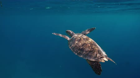 гавайский : Sea turtle underwaer against colorful reef with ocean waves at surface water