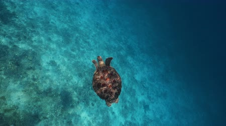 curacao : Sea turtle underwaer against colorful reef with ocean waves at surface water