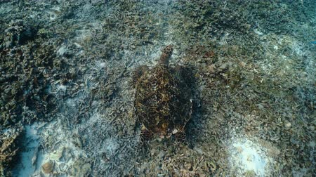 brezilya : Swimming sea turtle and sandy seabed. Underwater video from scuba diving with the turtles. Wild sea animal in the tropical ocean. Marine life in the shallow water.