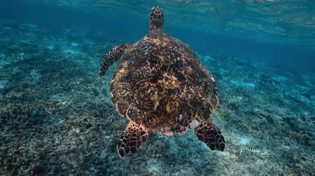 curacao : Swimming cute turtle in the blue ocean. Underwater scuba diving with sea turtle. Exotic island vacation with snorkeling. Wildlife on the tropical coral reef. Stock Footage