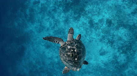 キューバ : Sea turtle underwaer against colorful reef with ocean waves at surface water