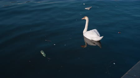 passarinho : Swan swimming in polluted lake. Pollution, eco, waste, concept. Filmed on REd 4k, 10 bit color