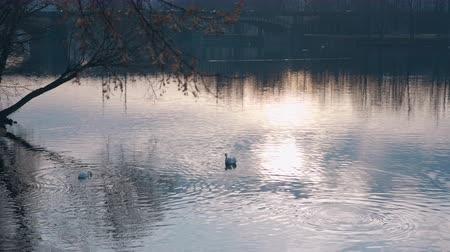 kaczki : Swan floating on the water at sunset of the day. Filmed on REd 4k, 10 bit color Wideo