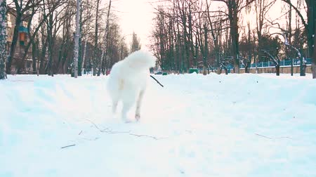 samoyed : Happy white Samoyed dog