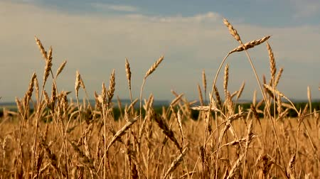 blurring : Yellow ears wheat sway in the wind,