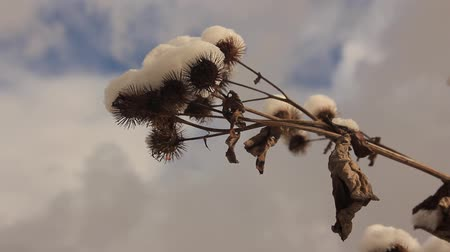 thistle : dry thistle branch and the first snow Stock Footage