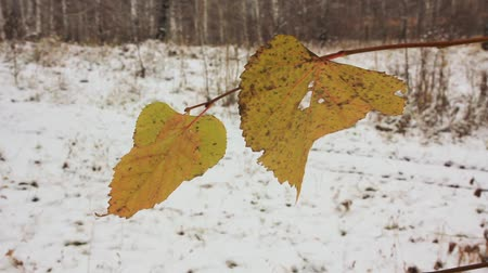 последний : the last yellow leaves and the first snow