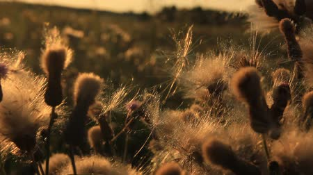 bulutluluk : airless seeds of thistle Stok Video