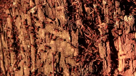 lerdo : ants live in an old birch stump