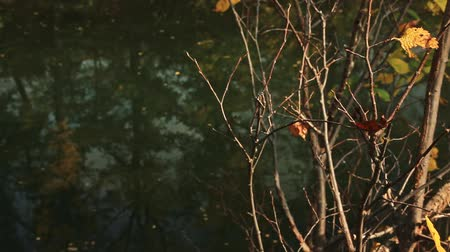 The branches of the coastal bush dropping foliage against the background of the autumn river Stock Footage