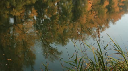 Yellow leaves float on the surface of the river reflecting yellowing trees. Stock Footage