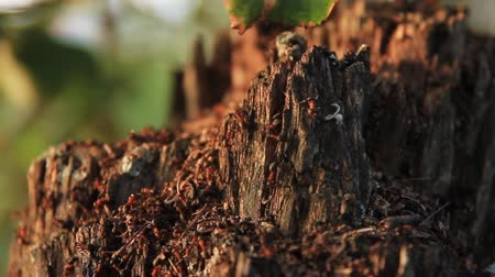 lerdo : Old rotten stump and ants Stock Footage
