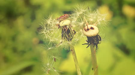 On a summer meadow. Forest insects on a dandelion. Stock Footage