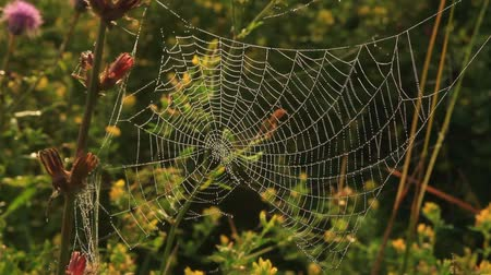The cobweb covered with drops of morning dew trembles with a light breeze