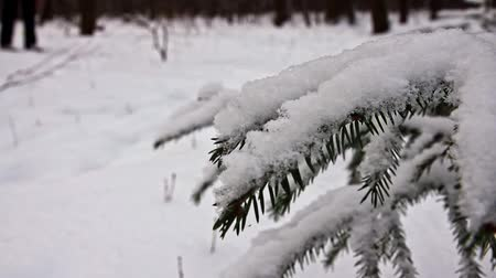 branches of a fir tree in the winter forest and a skier