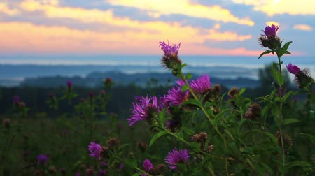 Morning breeze swaying blooming thistle early in the morning