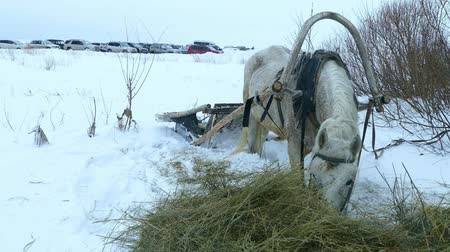 White horse and sleigh in winter near forest