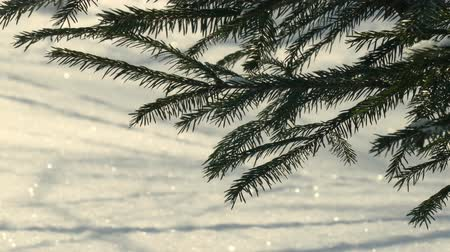 spruce branches and shiny snow