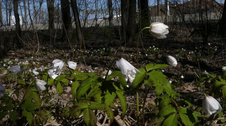 wood glade : Snowdrop blooms by the road