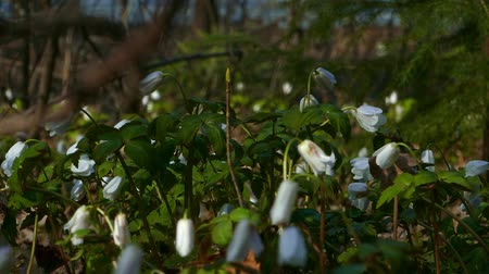 Roadside primroses snowdrops bloom in spring city park Stock Footage