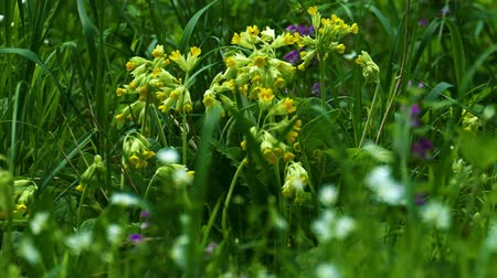 Primula veris primroses in the thick green grass