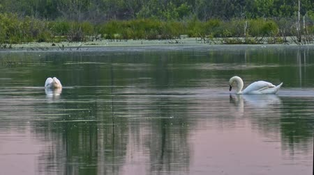 Wild swans on a quiet water surface of a forest lake