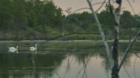 wild swans on a forest lake