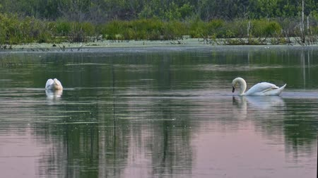 Wild swans on a quiet water surface Stock Footage