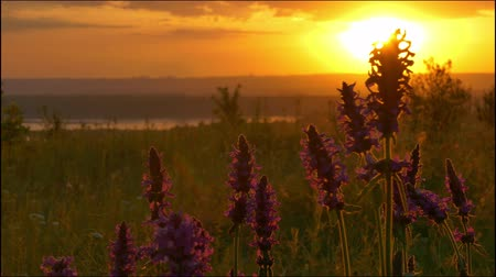 Wildflowers in the backlight of the rising sun Stock Footage