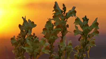 yellow flowers and ant at sunrise