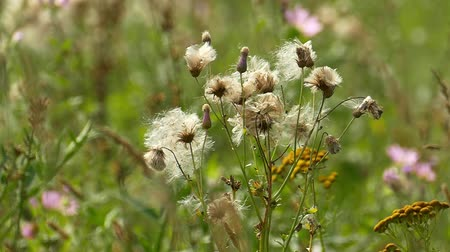 kırılganlık : stalks of field weeds with fluffy seeds Stok Video
