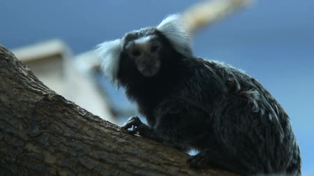 tamarin : Common marmoset in the zoo