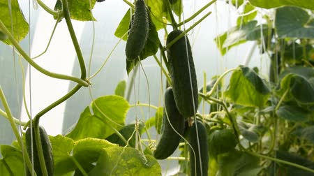 Close-up shot of working female hands picking cucumbers in the warm house. Agriculture and farming
