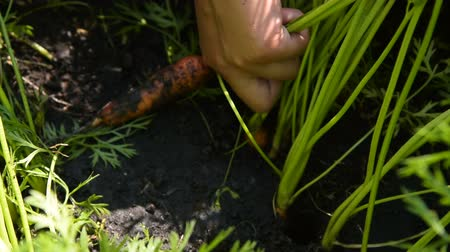 Close-up shot of a farmer harvesting carrots. Agriculture and farming