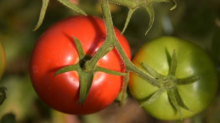 Close-up shot of ripe red and green tomatoes hanging on the branch