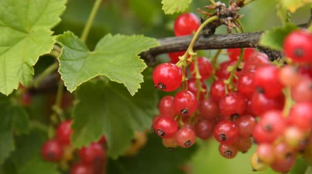 смородина : Close-up shot of waving branch with bunch of red currant. Tiny insect creeping on the berry