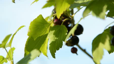 смородина : Close-up shot of black currant bunch on the bush, view at sunny summer day