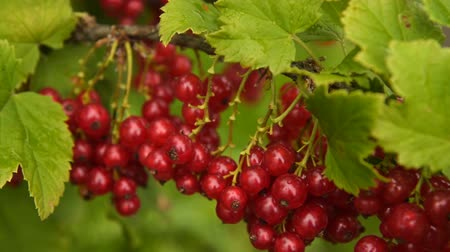 смородина : Close-up shot of branch with bunch of ripe red currant being wet after rain Стоковые видеозаписи