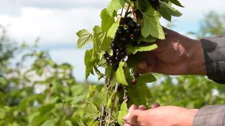 смородина : Man gathering ripe black currant in the garden