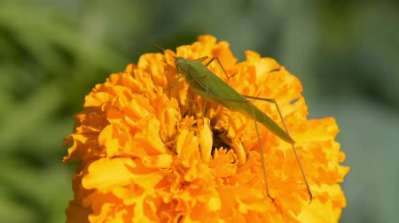 marigold flower : Close-up shot of a green grasshopper on marigold flower in the garden Stock Footage