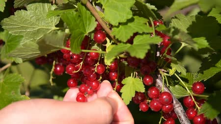 смородина : Close-up shot of woman farmer picking up ripe red currant from the shrub in the garden