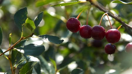 Close-up shot of ripe cherries on tree branch, view on sunny summer day. Agriculture and cultivation