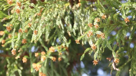кедр : Male flowers of the cedar Стоковые видеозаписи